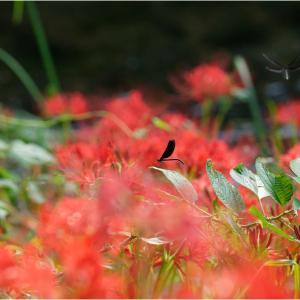 彼岸花と神様蜻蛉