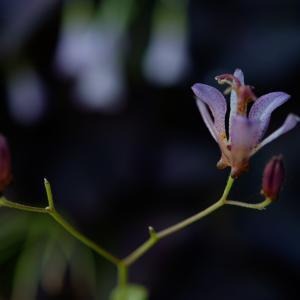 ホトトギス咲く