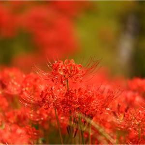 雨上がり擬き(もどき)の彼岸花