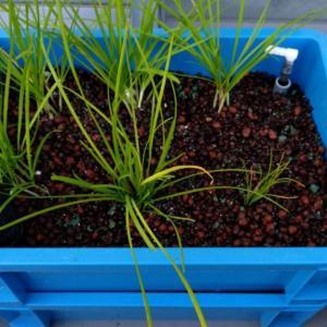 【水耕栽培】自作水耕栽培装置にニラ植え替え