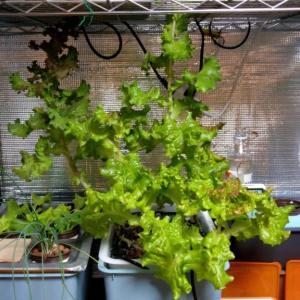 【水耕栽培】とう立ちリーフレタスを食べてみました