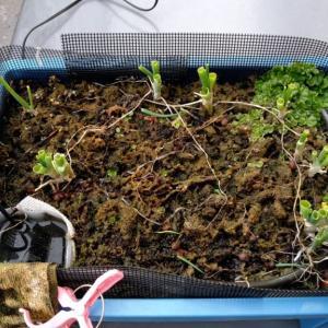 【養液栽培】ネギの植え替え