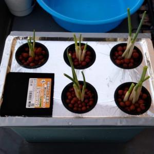 【水耕栽培】小ネギの植えなおしついでに装置を改造