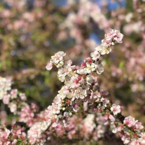 春の陽ざしのメルボルン、癒しの草花たち