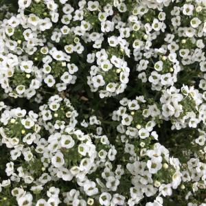 春の陽ざしのメルボルン、癒しの草花たち – その②