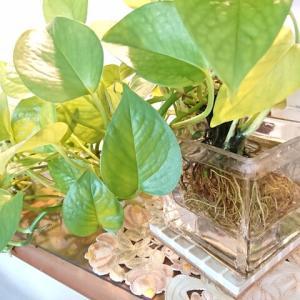『暮らし方の提案 観葉植物の増やし方』By中西    2021.09.24