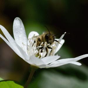 【自然観察】アネモネで会いましょう【アズマイチゲ vol.01】