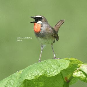 【自然観察】草原のリサイタル【ノゴマ vol.01】