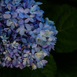 今年の紫陽花2