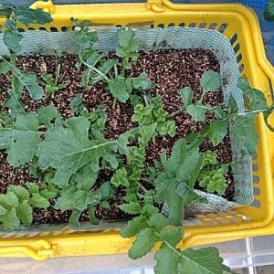 6/23 大根とキャベツの復活&枝豆収穫増作業