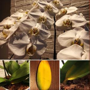 新居祝いの胡蝶蘭の葉が変色してきたら、どう対応したら良い?