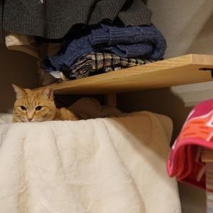 【猫動画】猫棚から虎猫出動!おもむろに…