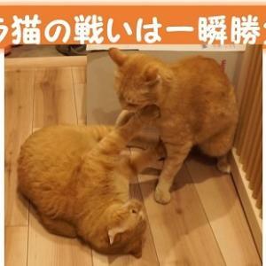 【猫動画】トラ猫の短期決戦!