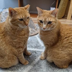 【猫】仲よし姉弟猫/ドーピングで乗り越えた健診
