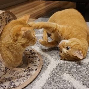 【猫】抑え込み1本!強すぎる猫