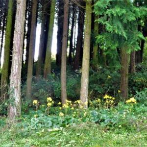 黄色い丘・恋泉畑・利楽のコスモス,蝶など。夕焼け。4678歩。