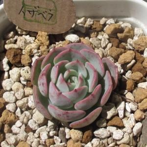 ひでりんさんの鉢に植えましたよ