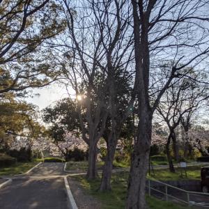 公園の池の朝陽と桜と