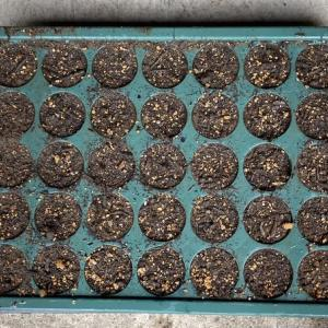 ミニ白菜の種まき