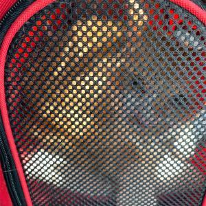 猫の肛門嚢炎:ウチのチャタローが発症しました。