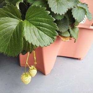 白いイチゴをついに収穫!【ベランダ菜園】