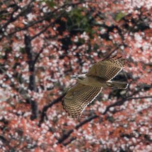 クマタカと山桜
