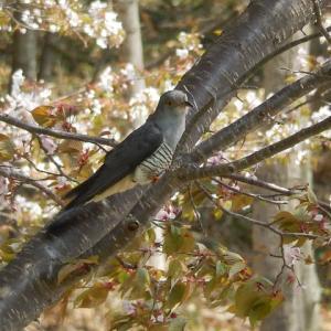 公園に響き渡るツツドリの鳴き声