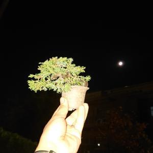 透き通った夜空🌃月🌙と真柏