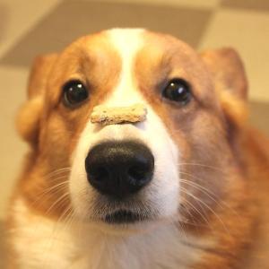 犬のしつけ 待ての超簡単な教え方動画