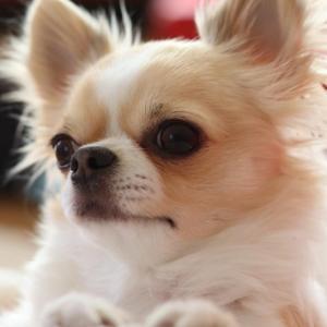 犬の無駄吠え解決 チワワのインターホン編