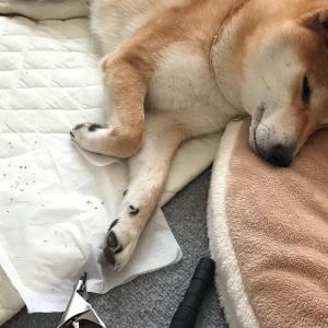 犬の爪切りの方法 嫌がる場合の慣らし方