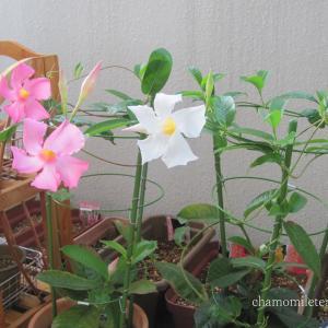 寒さに弱い植物、冬の肥料は・・・