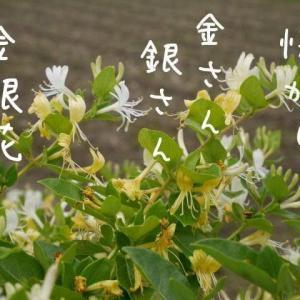 金銀花(忍冬)