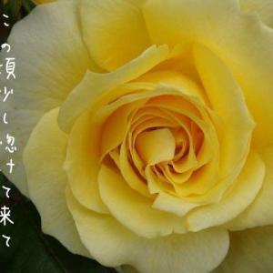 大輪の黄薔薇おっとり園長さん