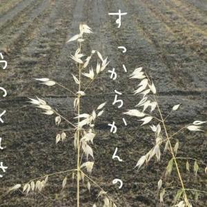 からす麦みんなはぢけてさっぱりと