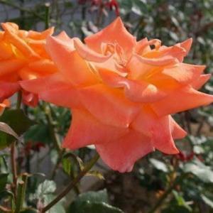 鉱物の結晶のごと薔薇六角