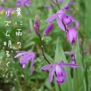 葉の波を飛びゆくごとく紫蘭咲く