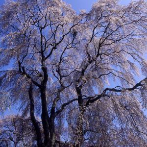 第425回  高遠城址の枝垂れ桜