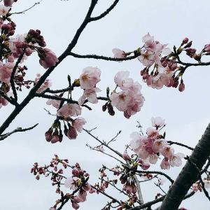 今年の桜は少し寂しいと昨年の今頃