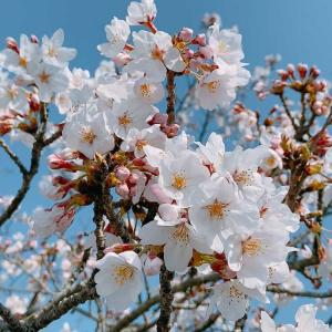 桜は毎年違う表情を見せてくれる~免疫力をあげるために・・・