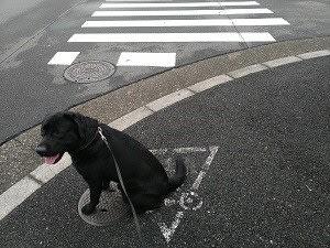 盲導犬の血筋か?