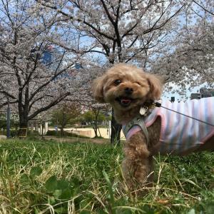 咲き誇る桜を見に