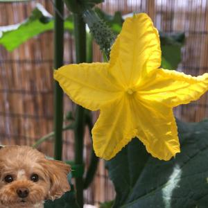 ベランダ菜園の花
