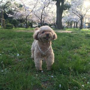 桜 散る散る
