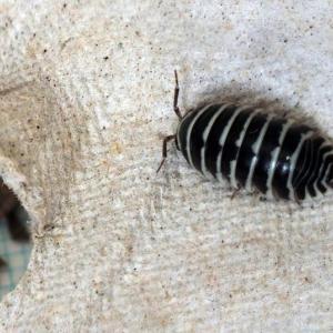 ゼブラダンゴムシ