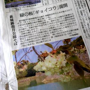 緑の桜「ギョイコウ」が近所にも咲いてました