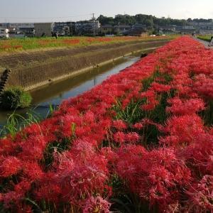半田市矢勝川の彼岸花を見に行ってきました