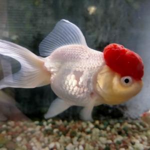 金魚のふるさと 郡山金魚資料館訪問記