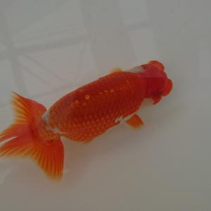金魚のメンテ
