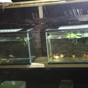 金魚水槽の後ろの金魚